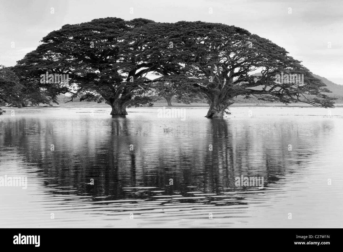 Rain Trees (Samanea saman) reflected in seasonal pond, Sri Lanka - Stock Image