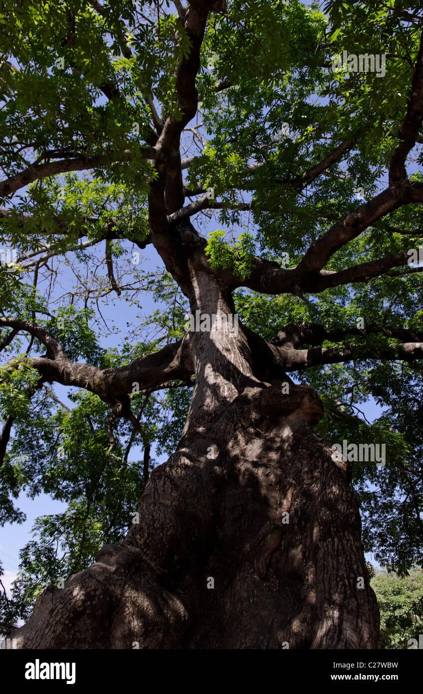 Ancient Pochota (Ceiba pentandra) growing in Chiapa de Corzo, Chiapas, MexicoStock Photo