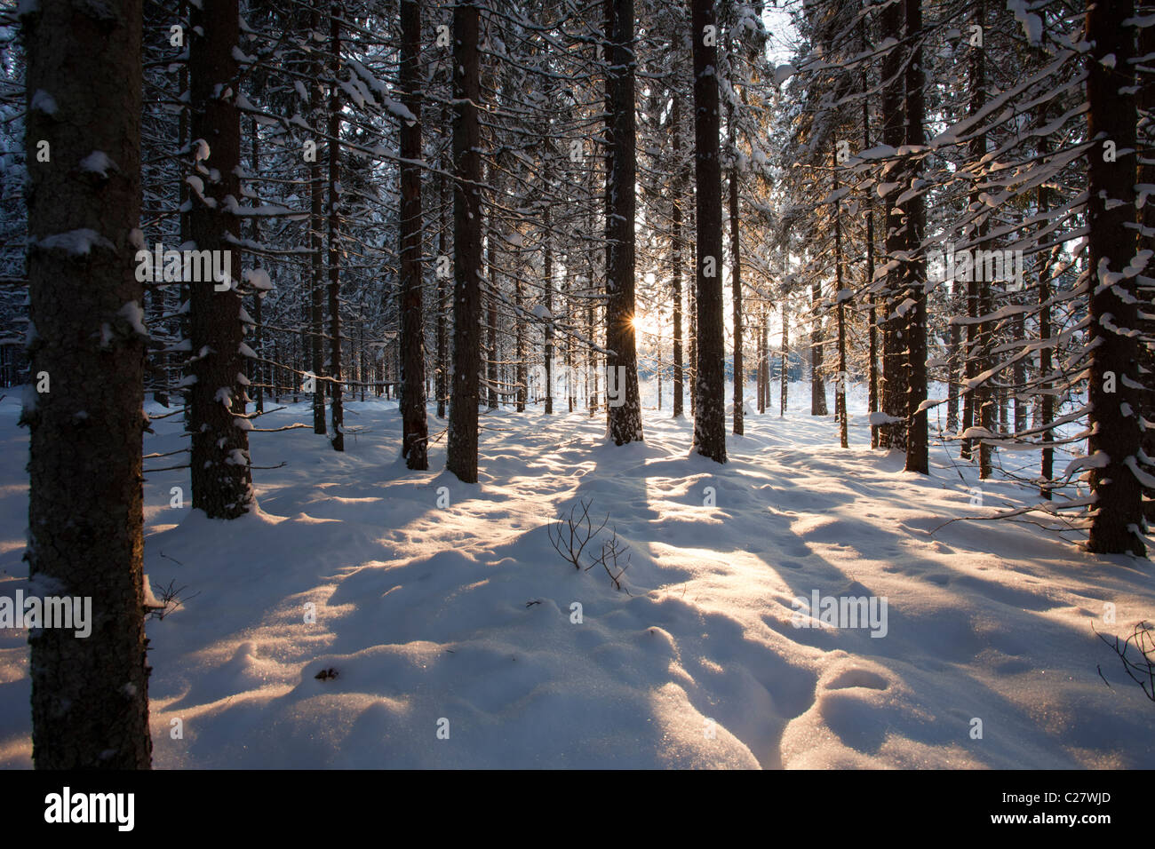 Thinned snowy spruce ( picea abies ) forest at Winter , Finland - Stock Image