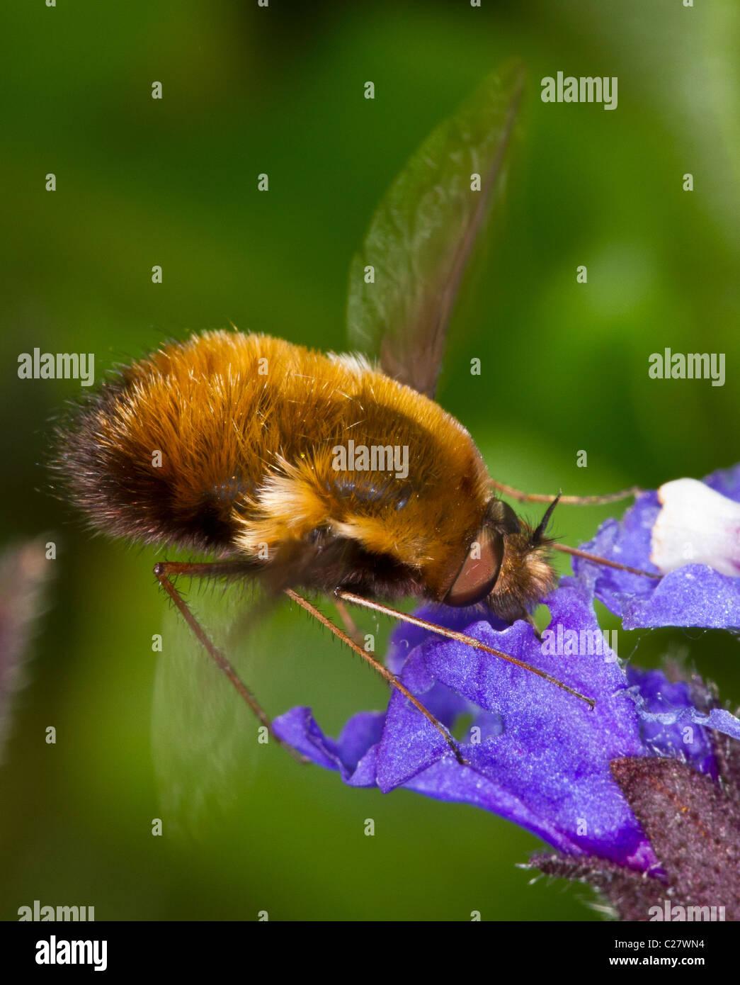 Bombyliidae family: bee-fly, probably Bombylius major, hovering and feeding on nectar of pulmonaria - Stock Image