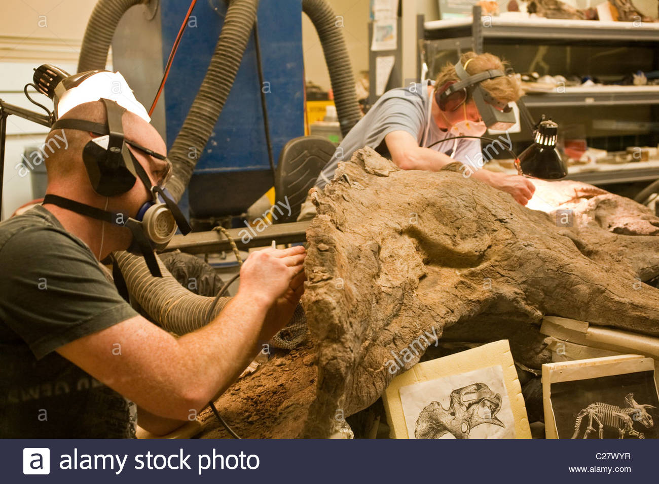 A paleontologist  cleans a dinosaur skeleton in a laboratory. - Stock Image