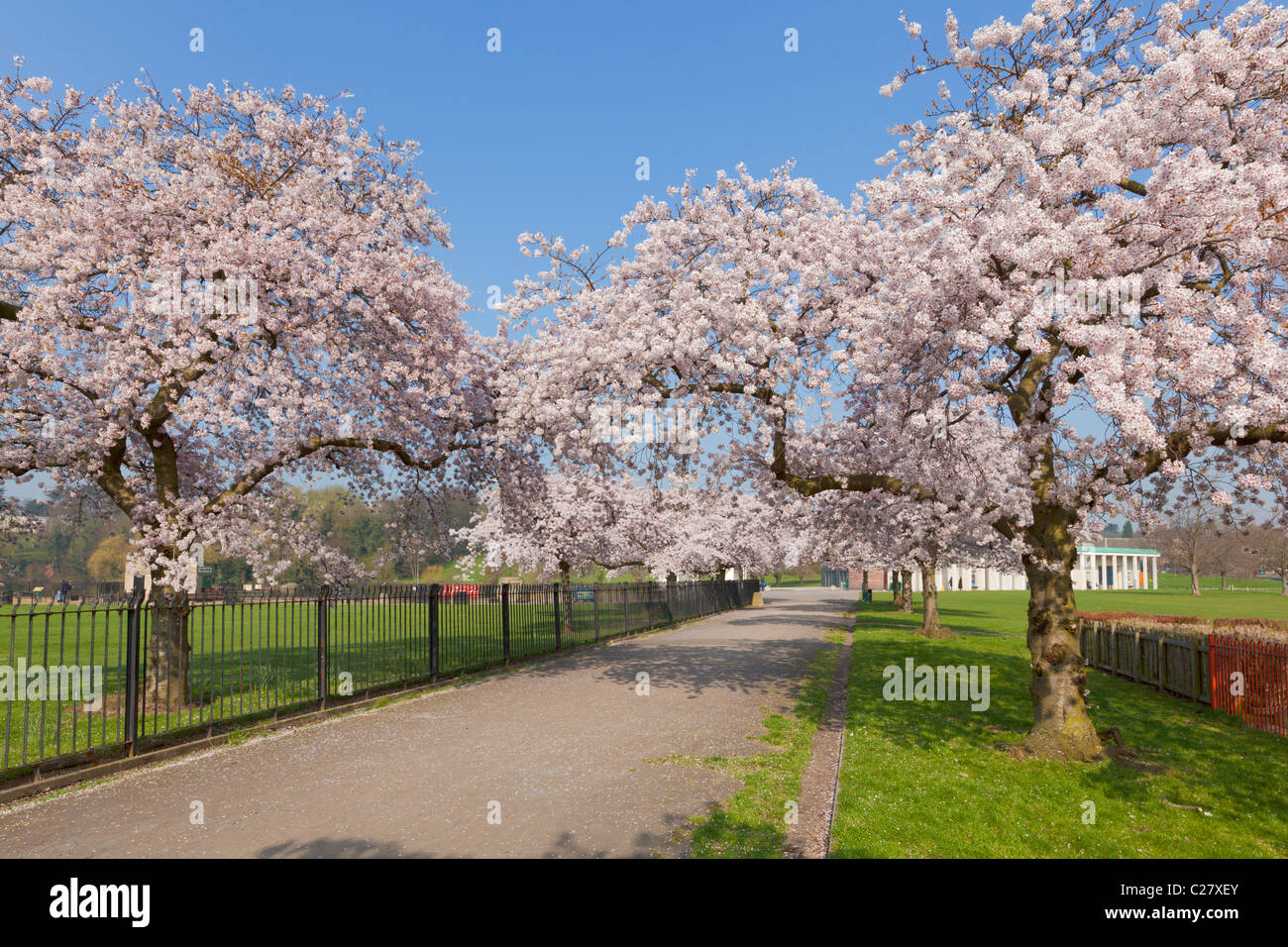 Cherry blossom on trees in Nottingham University park campus Nottingham Nottinghamshire England GB UK EU Europe - Stock Image