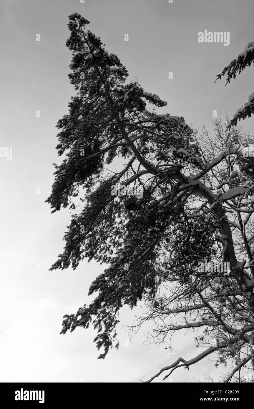 A lonely pine tree during a very cold winter in black and withe. - Stock Image