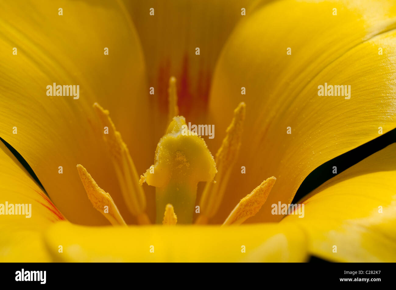 Tulip blossom with yellow stamen, close up - Stock Image