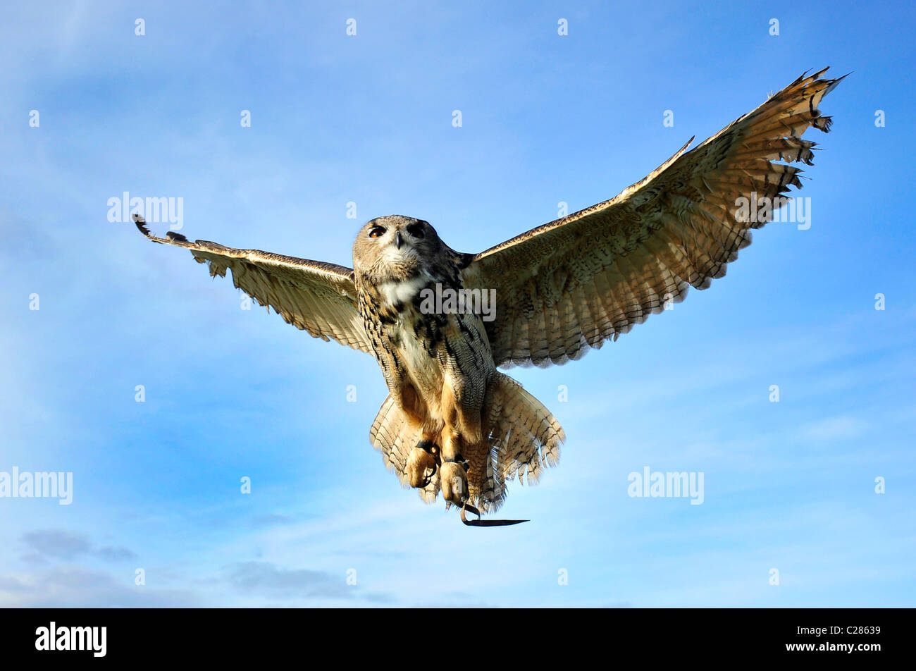 Captive European Eagle Owl in mid flight - Stock Image