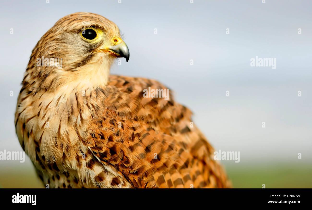 A captive kestrel (Falconidae) - Stock Image