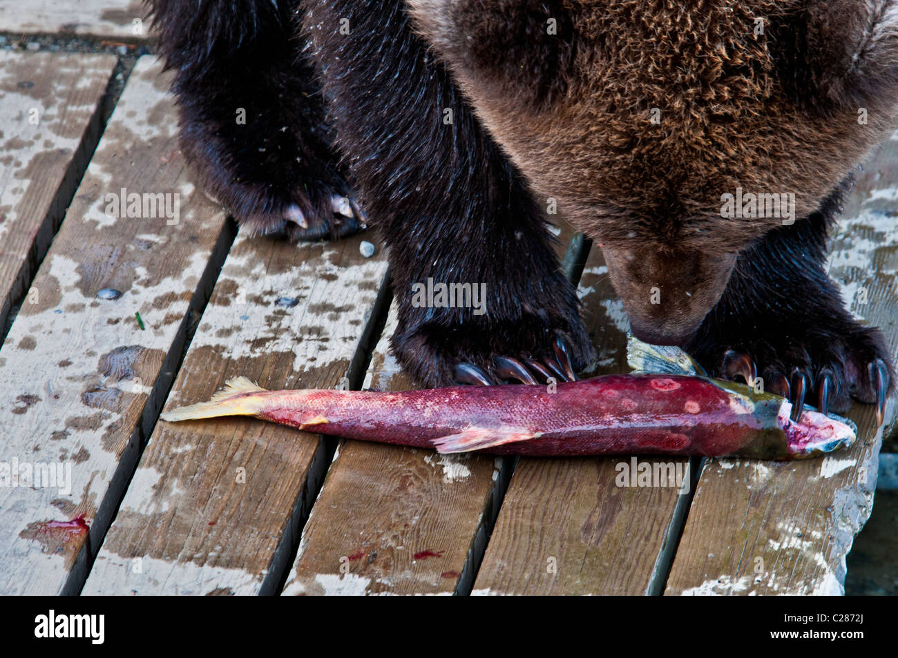 Grizzly Bear, Ursus arctos horriblis, Eating Salmon on the Boardwalk at Brooks River, Katmai National Park, Alaska, - Stock Image