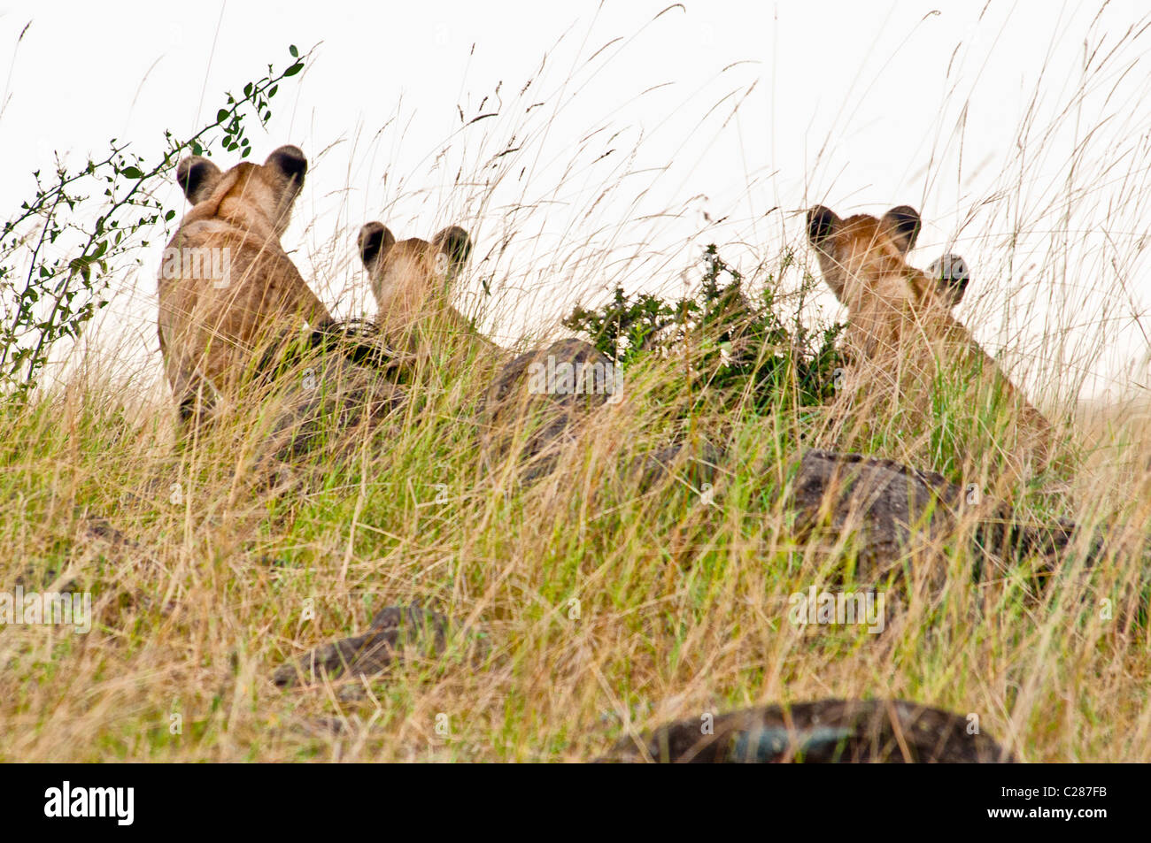Rear View of Four Lion Cubs, Panthera leo, Masai Mara National Reserve, Kenya, Africa - Stock Image
