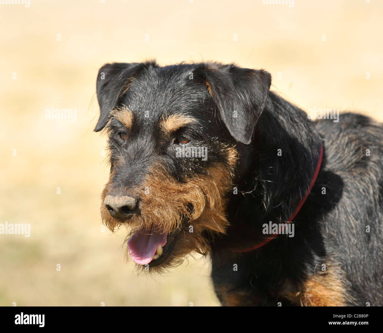 jagd terrier in germany - Stock Image