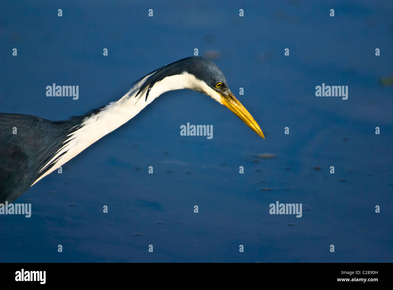 An elegant pied heron stalks fish whilst hunting in a still wetland. - Stock Image
