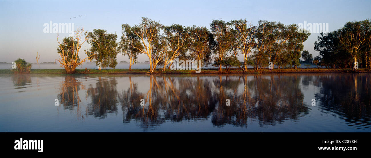 A dawn reflection of a row of paperbark trees lining a wetland shore. - Stock Image