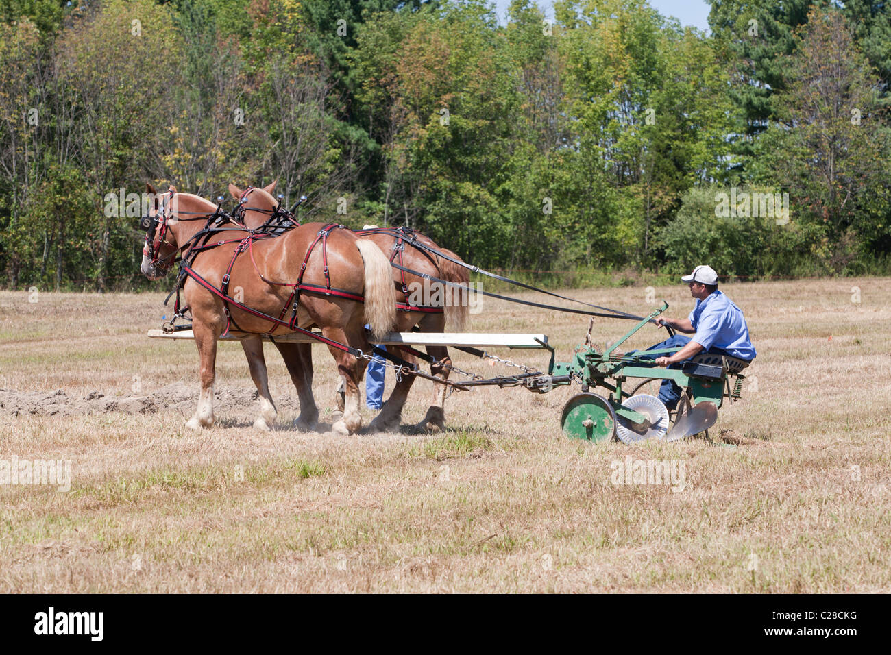 Draft horses plowing a field. - Stock Image