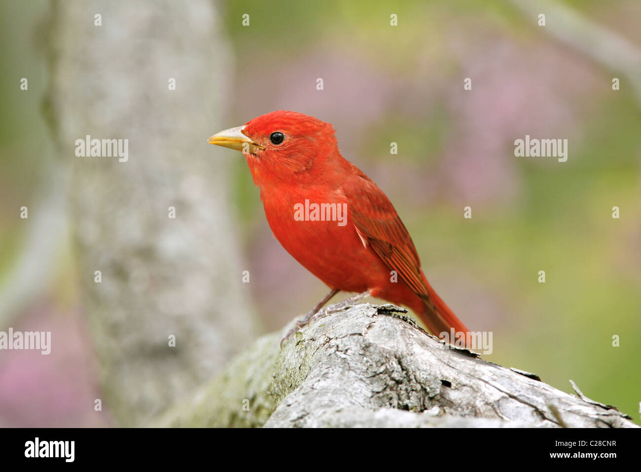 Summer Tanager - Stock Image