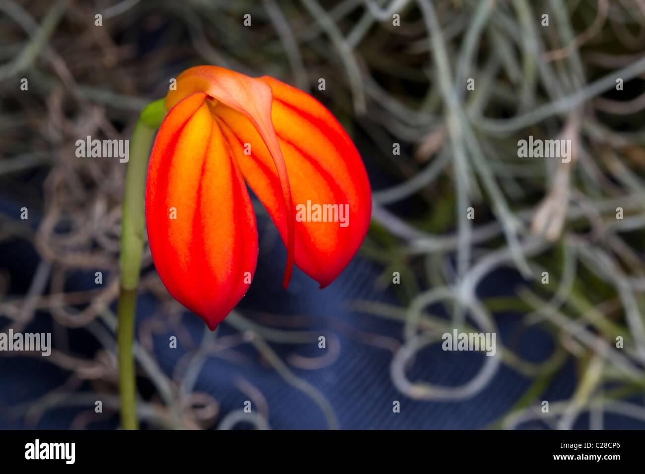 Red and orange orchid (Masdevallia ignea), a species native to Columbia. - Stock Image