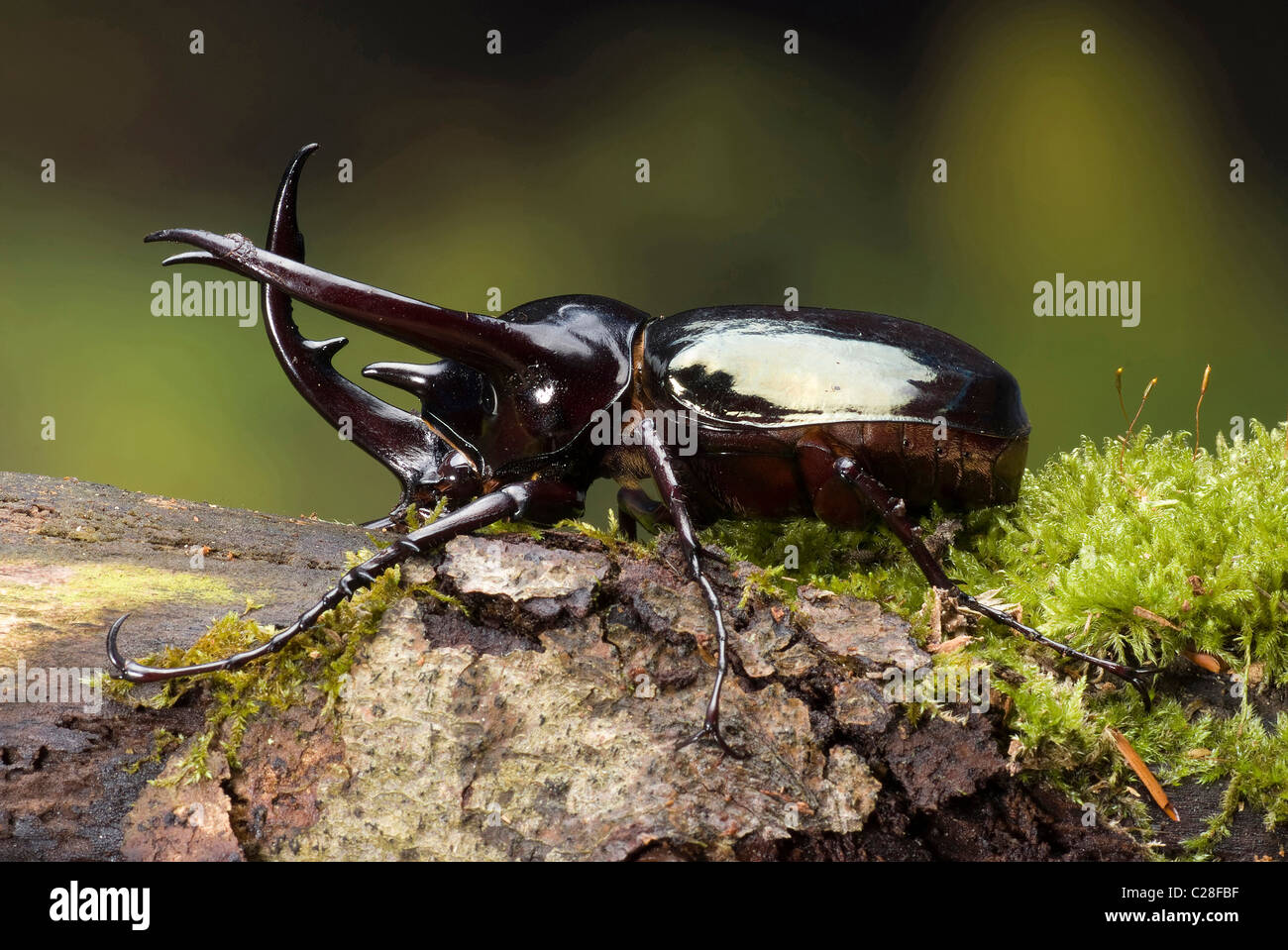 Three-horned Beetle, Atlas Beetle (Chalcosoma caucasus) on bark. One of the largest insects on Earth. - Stock Image