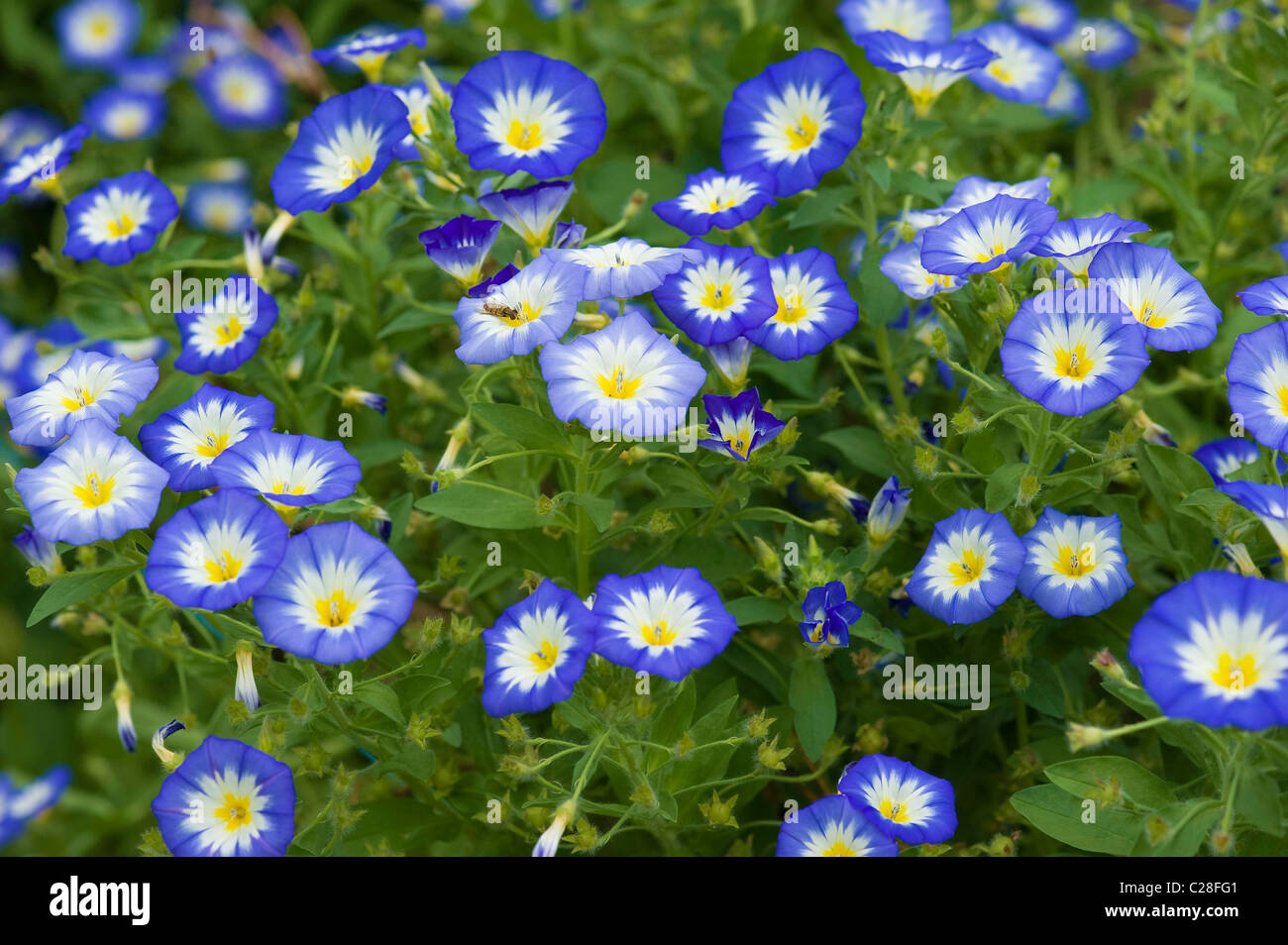 Dwarf Morning Glory (Convolvulus tricolor), flowering. - Stock Image