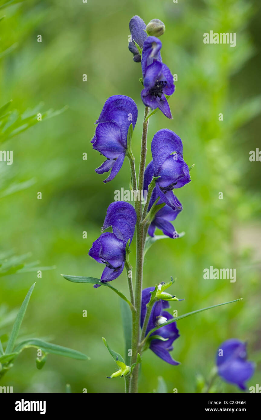 Wolfs Bane, Aconite, Monkshood (Aconitum napellus), flowers. - Stock Image