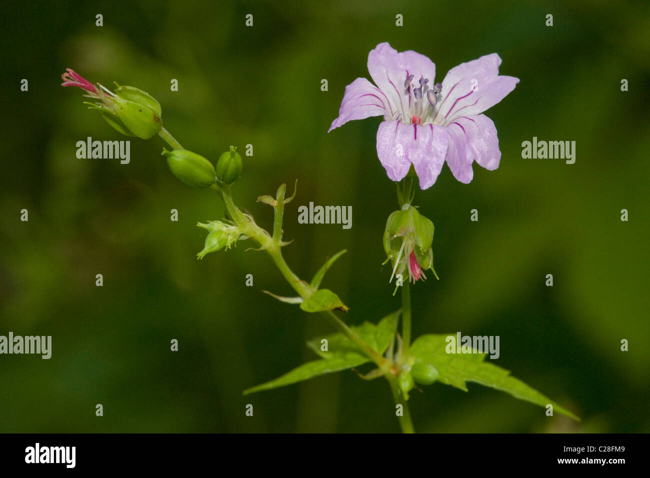 Knotted Cranesbill (Geranium nodosum), flowering stalk. Stock Photo