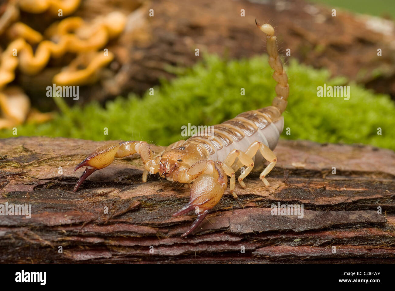 Burrowing Scorpion (Opistophthalmus boehmi) on wood. - Stock Image