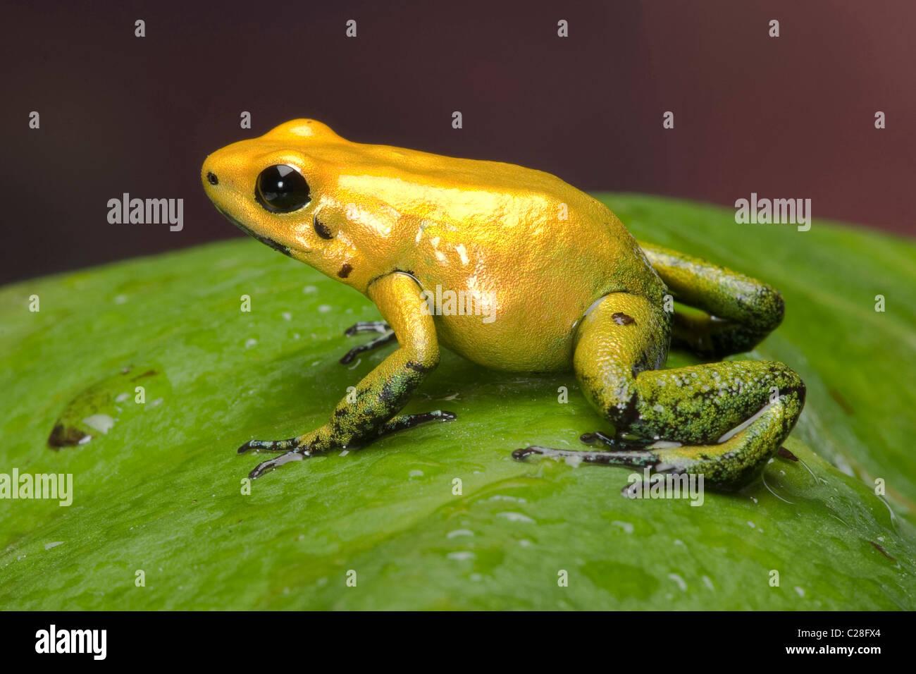 Black-legged Dart Frog (Phyllobates bicolor) on a leaf. Stock Photo