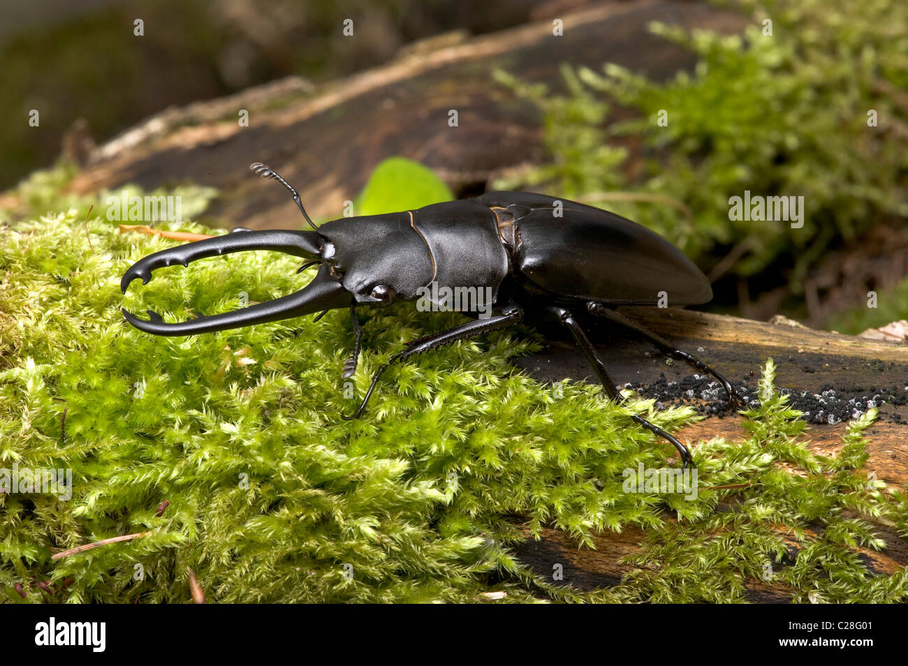 Giraffe Stag-Beetle (Prosopocoilus giraffa), adult male on moss. - Stock Image