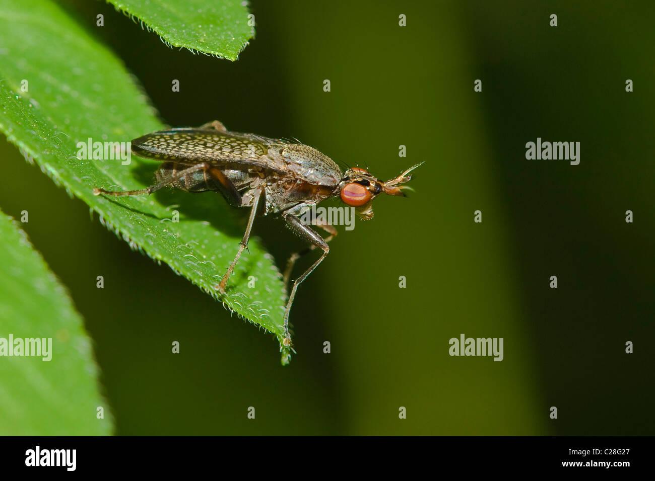 Snail-killing Fly (Coremacera marginata) on a leaf. - Stock Image