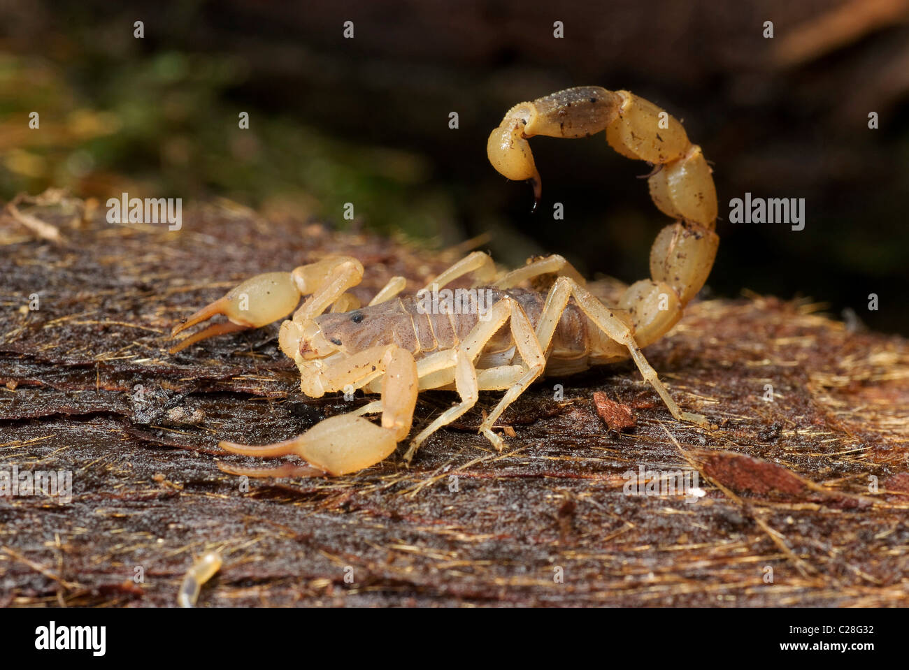 Chinese Swimming Scorpion (Lychas mucronatus) on wood. - Stock Image