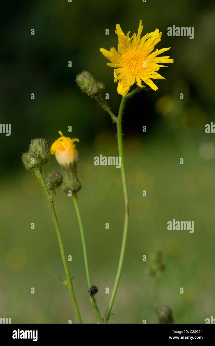 Corn Sow-Thistle (Sonchus arvensis), flowering. - Stock Image