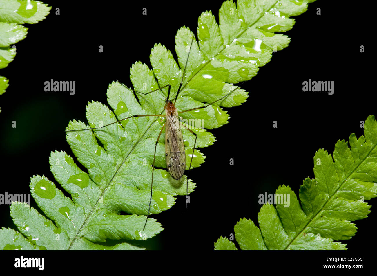 Cranefly (Limoniidae sp.), adult on a fern frond. - Stock Image