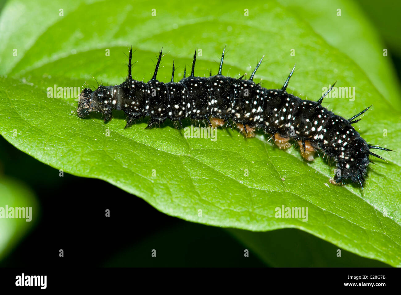 Peacock Butterfly (Inachis io, Nymphalis io), caterpillar on a leaf. - Stock Image