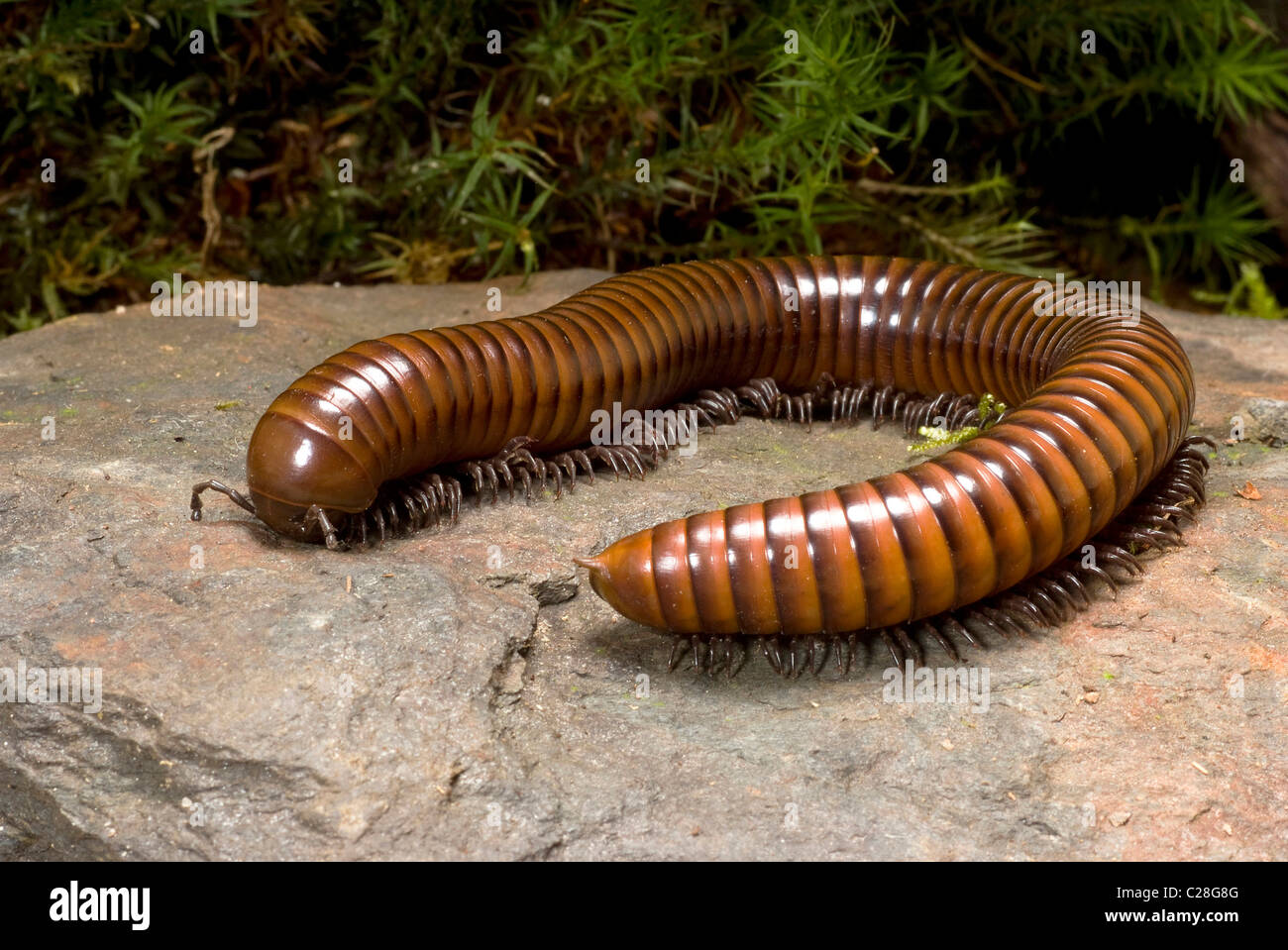 Millipede (Thyropygus ligulus) on a rock. - Stock Image
