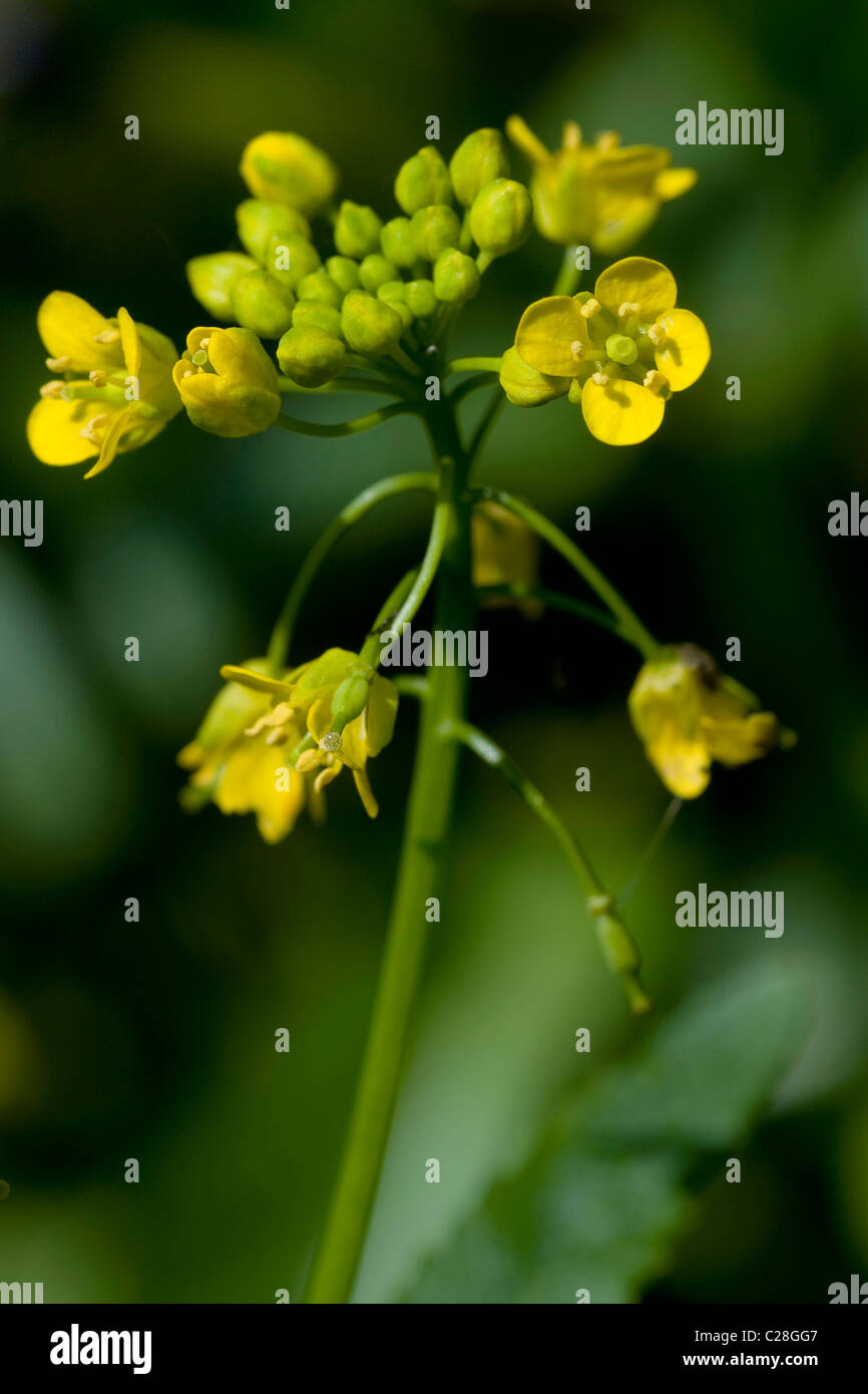 Great Yellowcress (Rorippa amphibia), flowering. - Stock Image