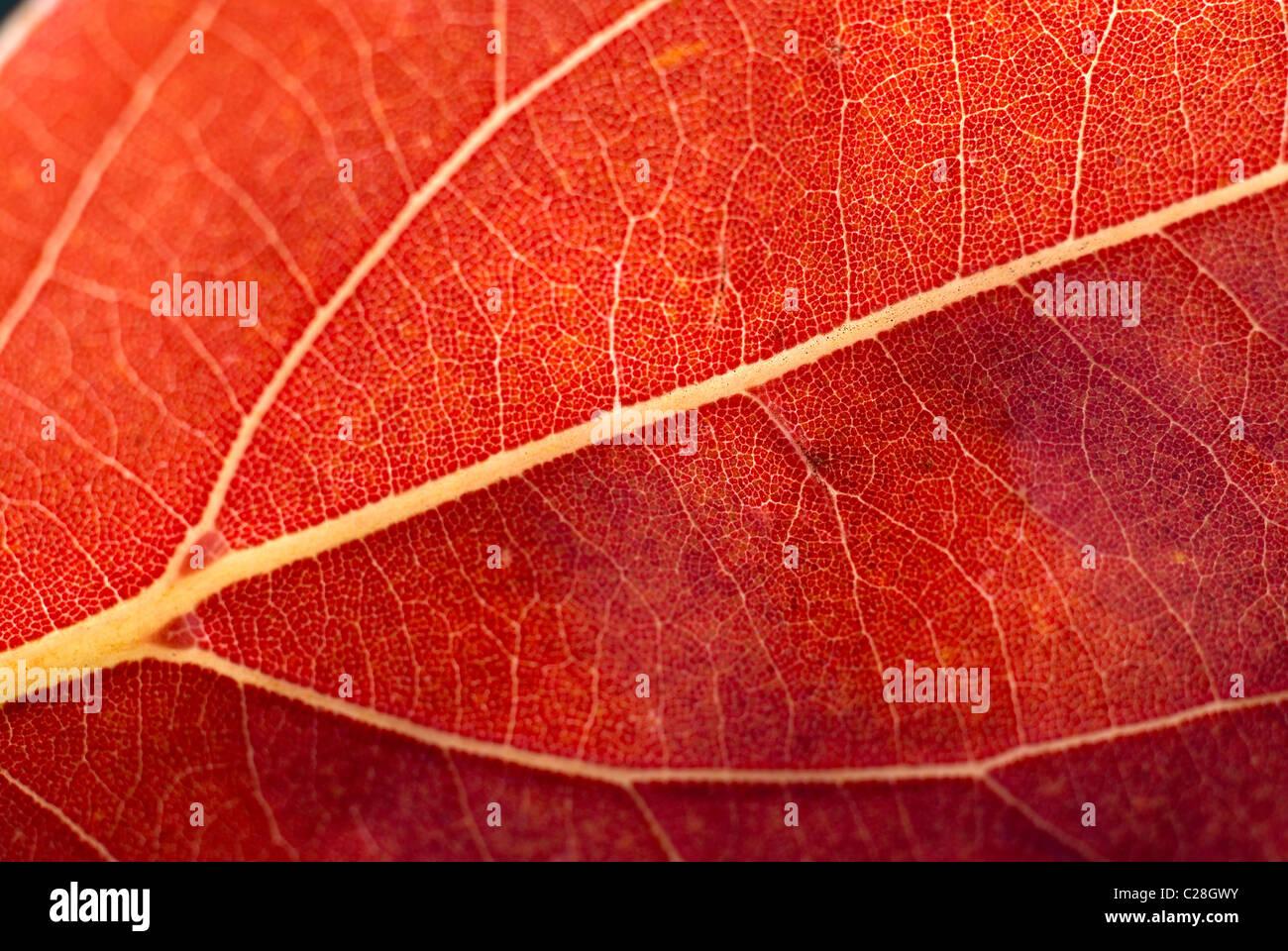 Autumn leaf, leaf veins, orange leaf - Stock Image