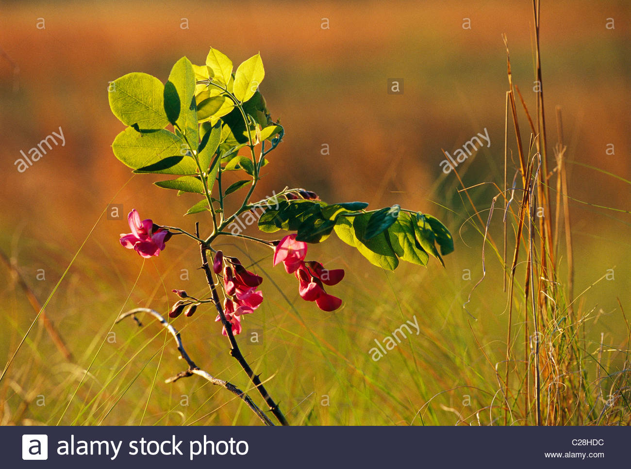 Flowers and leaves of a dwarf locust tree. - Stock Image