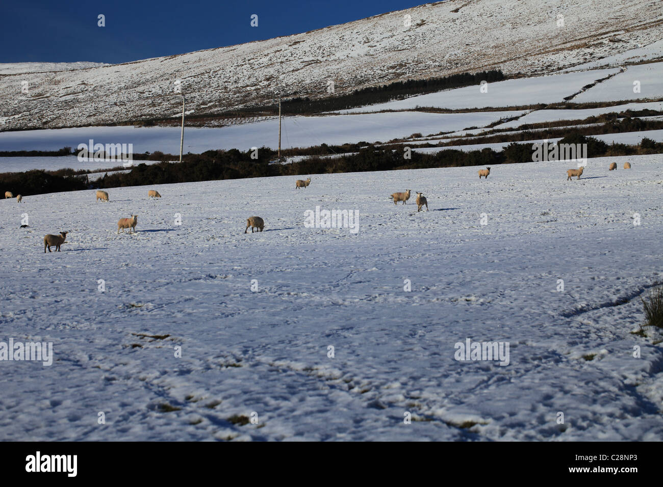 ireland west, dingle peninsula, co county kerry, sheep in snow covered fields ,  hillside farming,wild atlantic - Stock Image