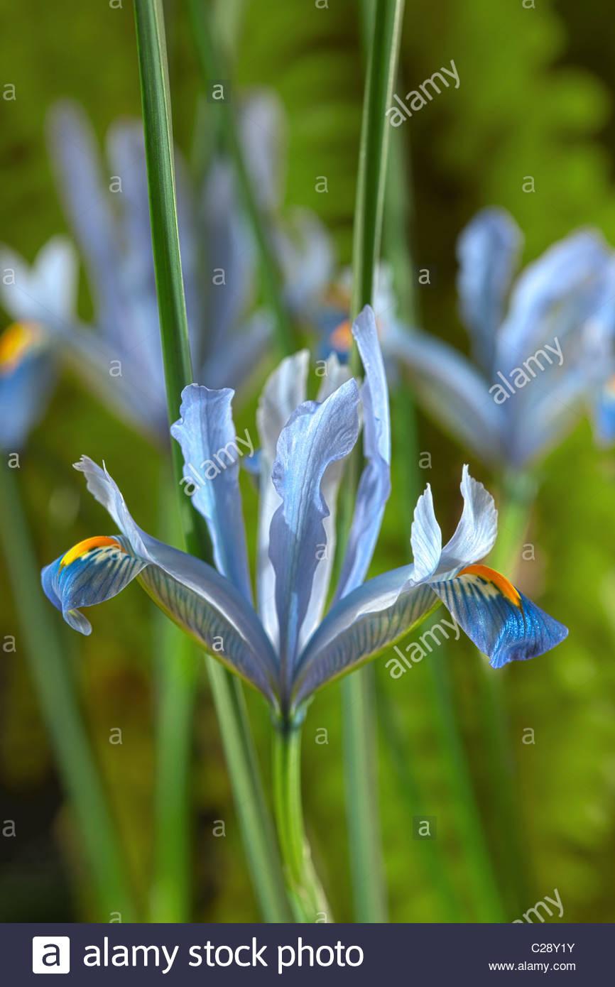 Iris reticulata Cantab bulbous winter flower dwarf February violet light blue garden plant - Stock Image