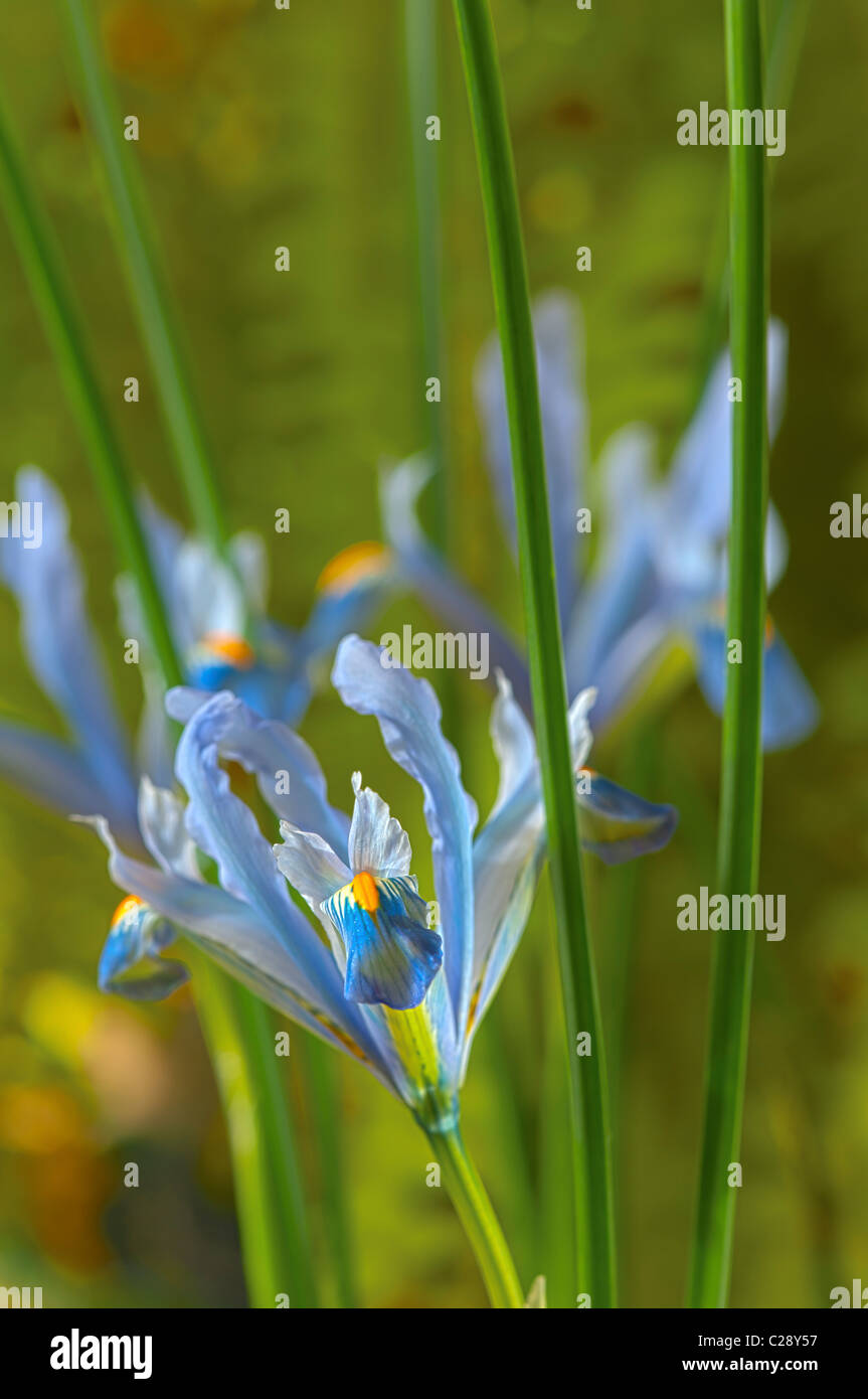 Iris reticulata Cantab bulbous winter flower dwarf February violet light blue garden plant - Stock Image