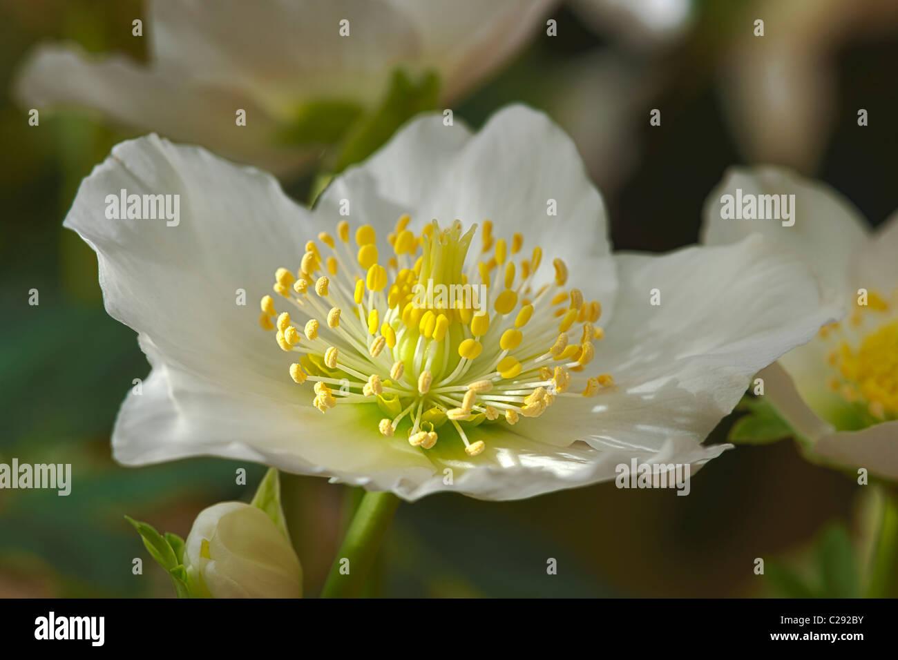 Christmas rose Helleborus niger Hellebore late winter flower perennial white cream December garden plant - Stock Image