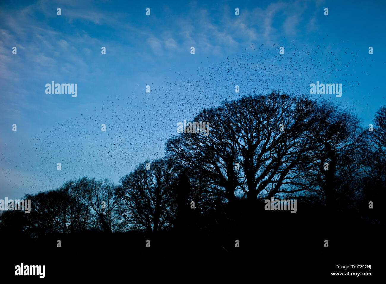 Murmuration of a million starlings fill the sky before roosting at Avalon Marshes, Shapwick Heath Nature Reserve, - Stock Image