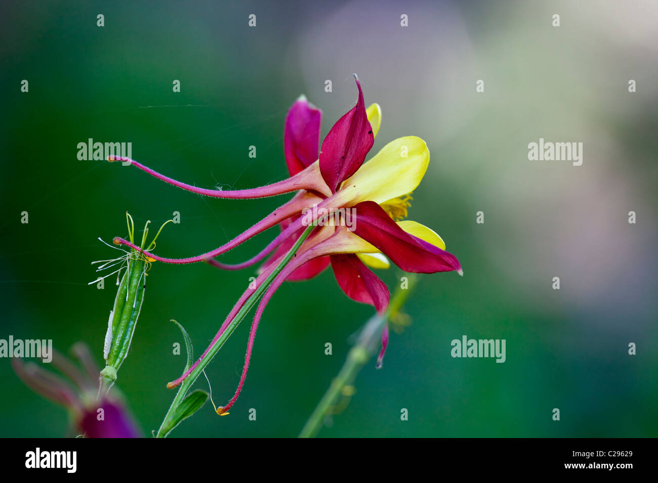 Red and yellow columbine flower stock photos red and yellow a red and yellow columbine flower stock image izmirmasajfo
