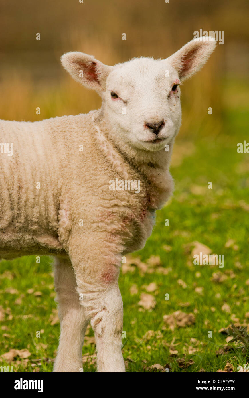 A portrait of a lamb in a field - Stock Image