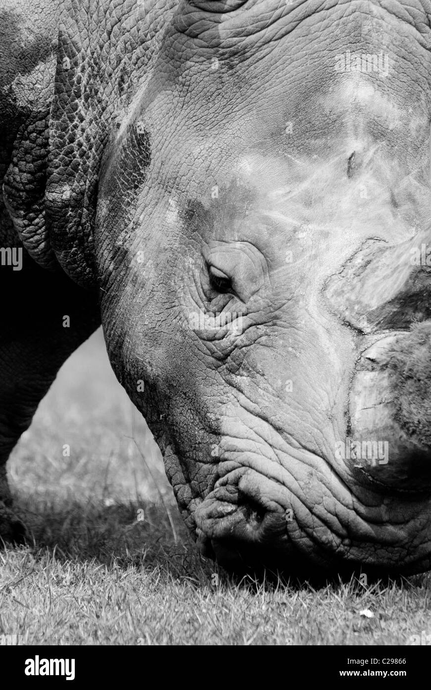 A black and white image of a Rhinoceros eating some grass - Stock Image