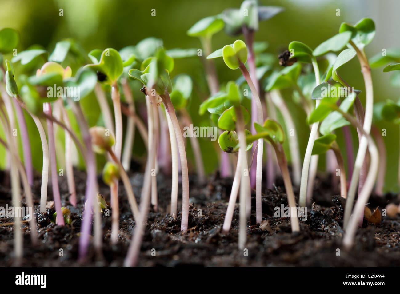 Radish Flamboyant Sabina Raphanus sativus seedlings grow sprouing soil edible kitchen garden plant winter spring - Stock Image