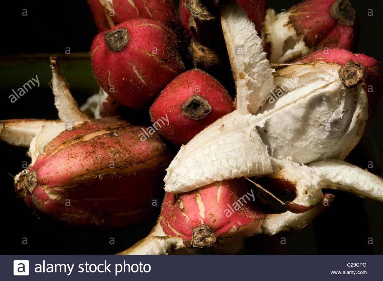 Pink banana, Musa velutina, is species of seeded banana. - Stock Image