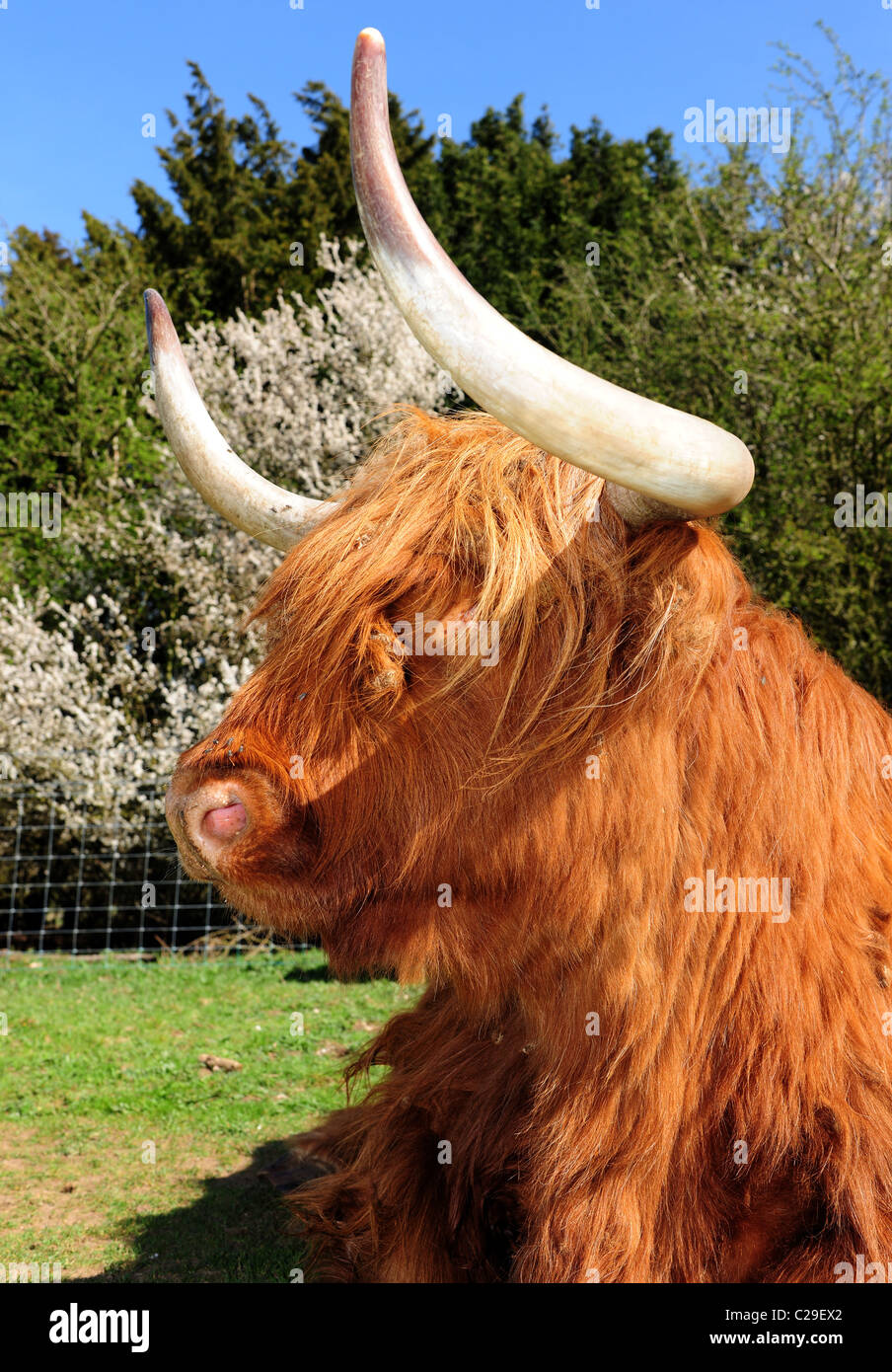 Highland Kyloe beef cattle. A Scottish breed widely exported to the USA and Australia. - Stock Image