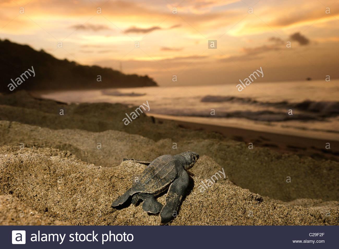 A leatherback turtle hatchling crawls toward the sea. - Stock Image