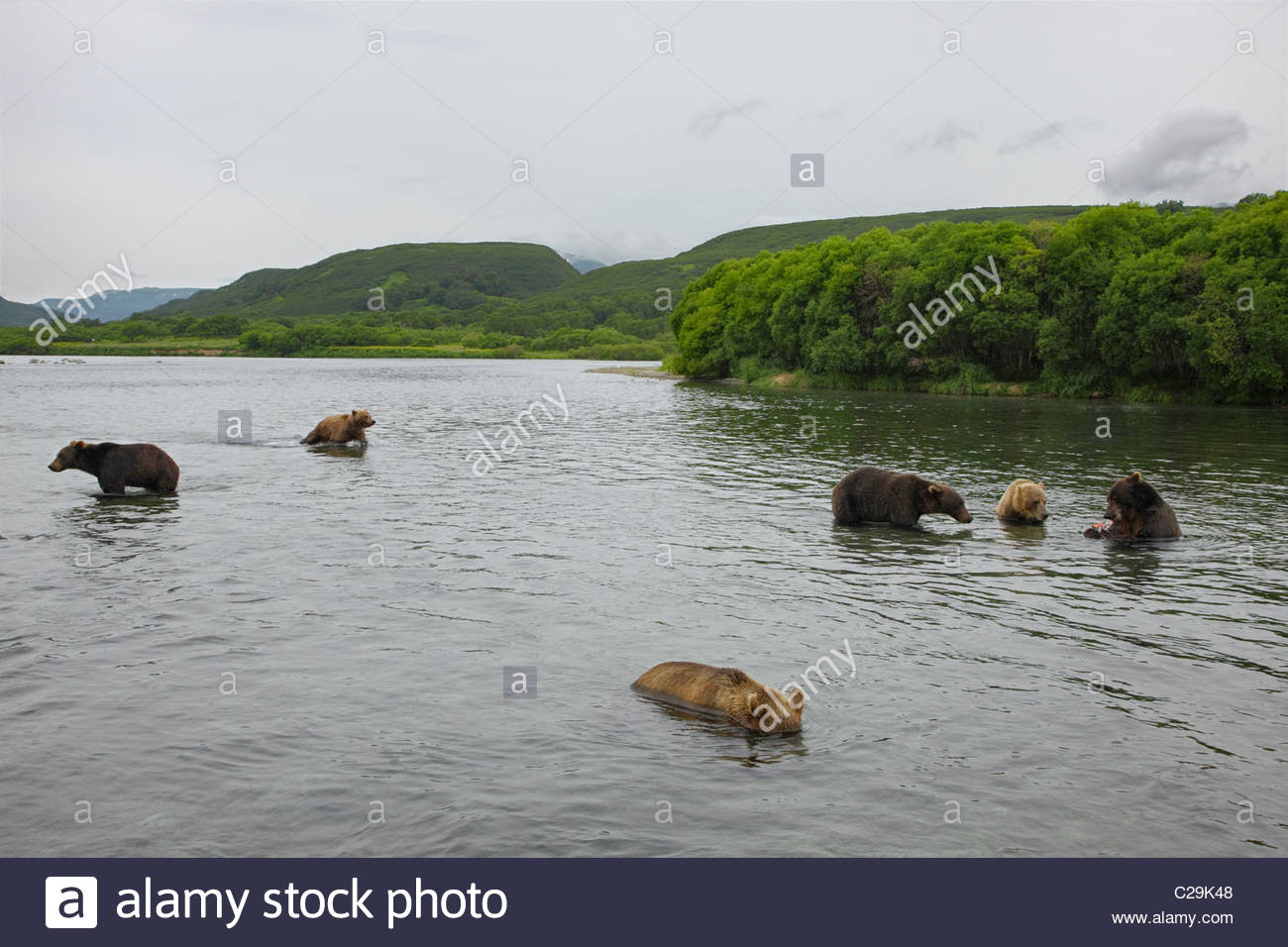 Brown bears fishing for salmon in Kuril Kake. - Stock Image