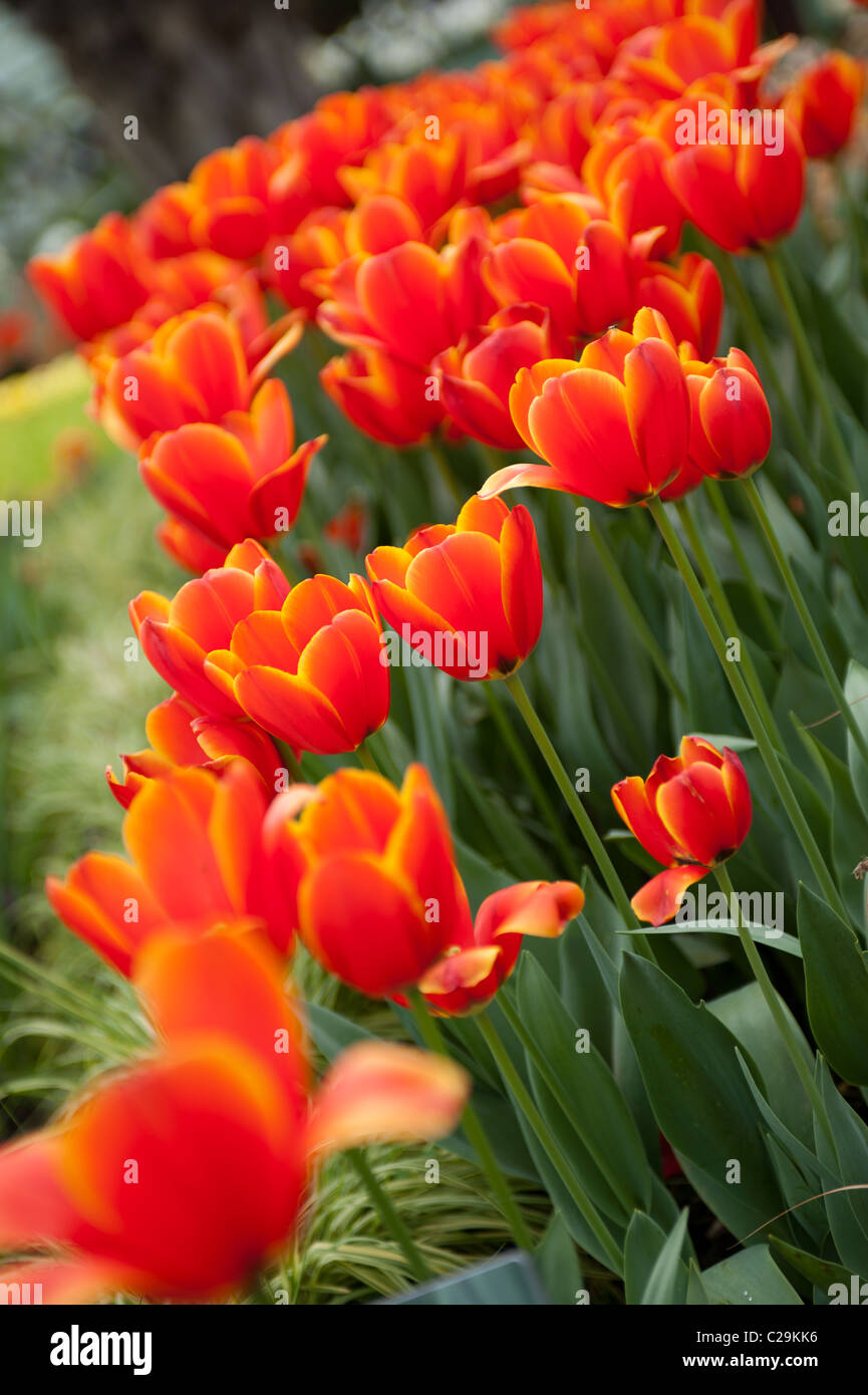 'World's Favorite' Tulips - Stock Image