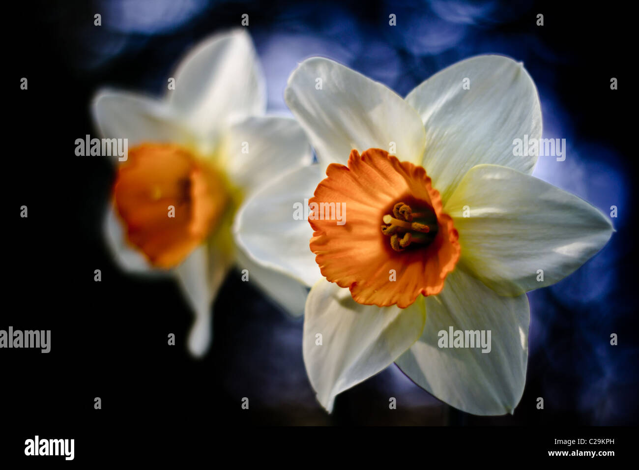 Stunning daffodils (NARCISSUS GERANIUM)  in spring, UK - Stock Image