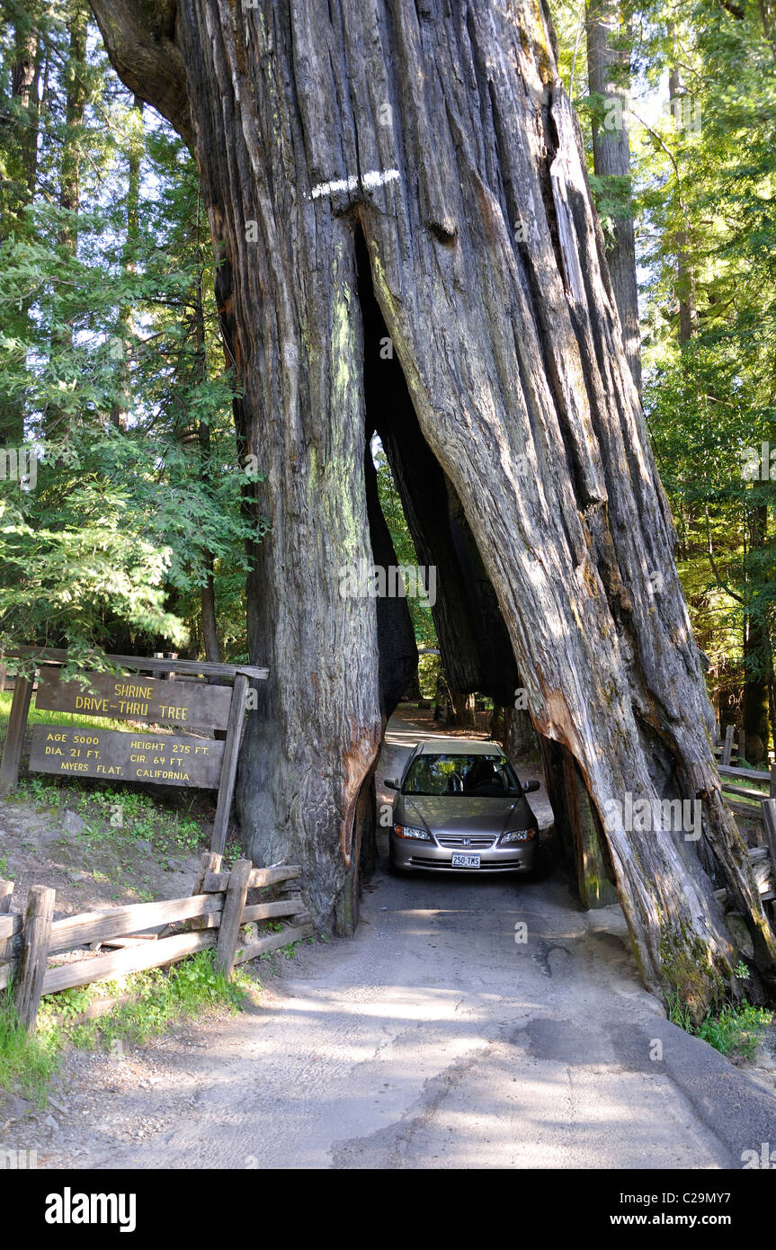 Sequoia Christmas Tree